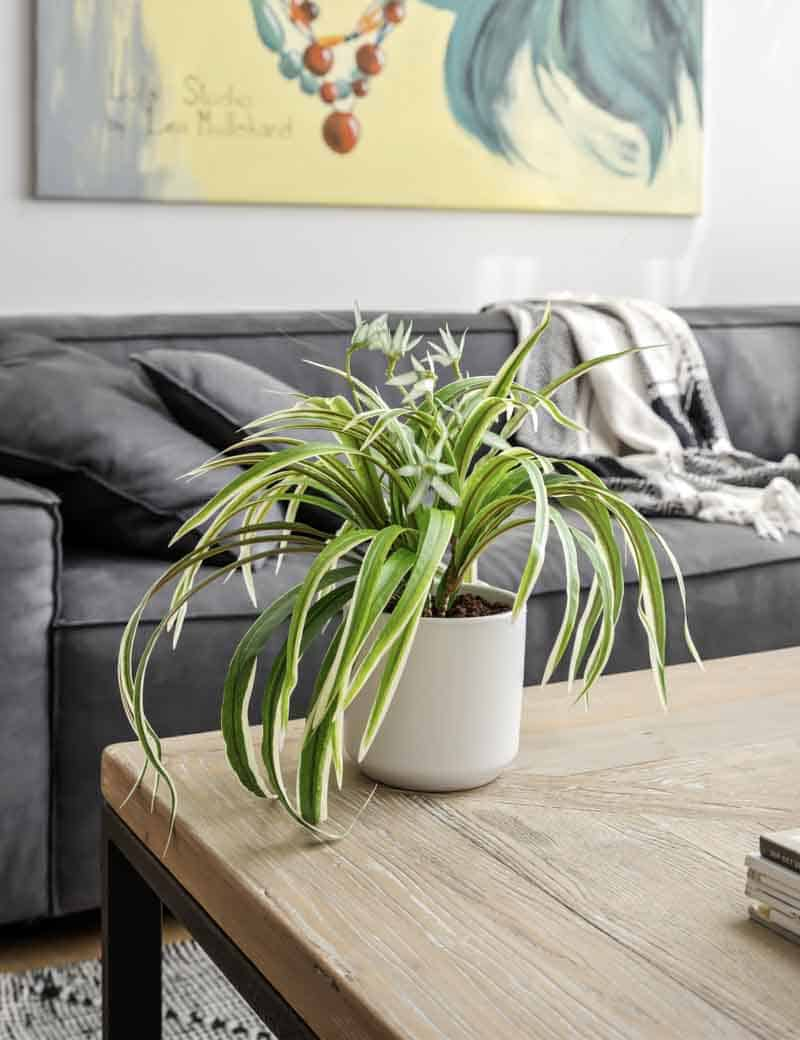 צמח ירקה ספיידר לעיצוב הסלון | גרדן מרקט - צמחיה מלאכותית איכותית