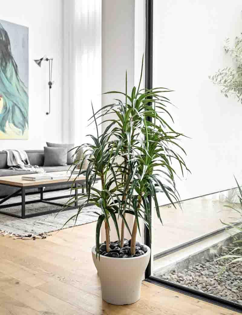 צמח דרצה 4 גזעים לעיצוב הסלון | גרדן מרקט - צמחיה מלאכותית איכותית