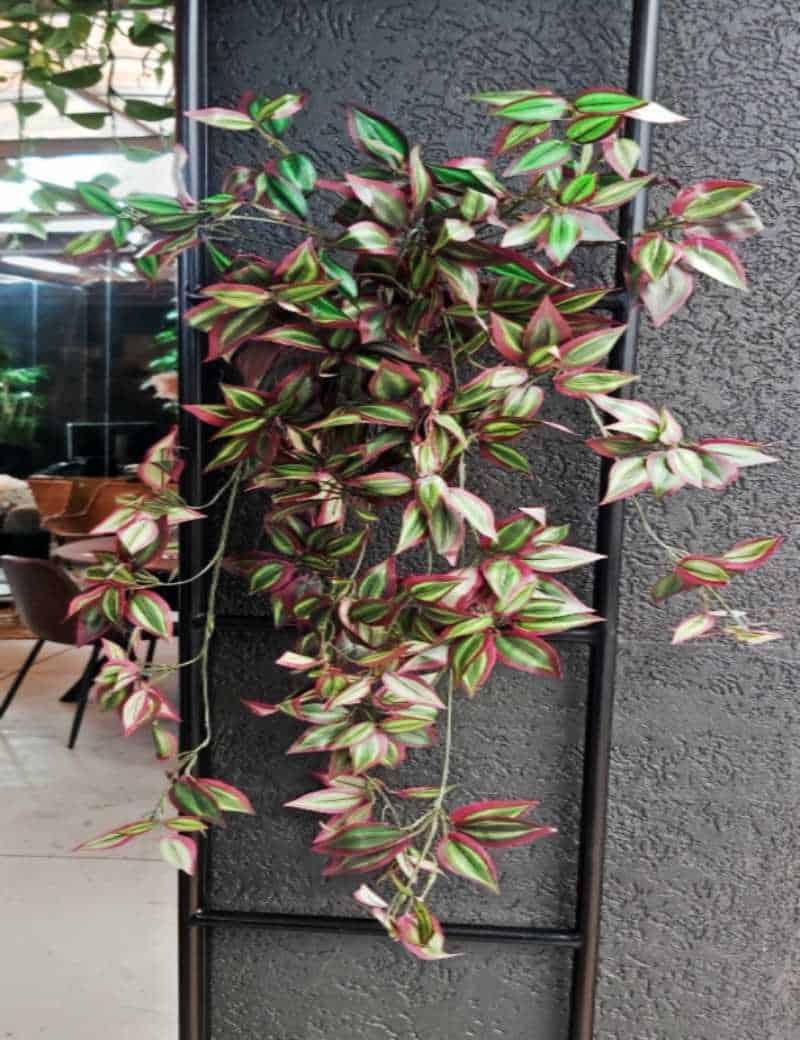 צמח גולש יהודי נודד מלאכותי | garden market - צמחיה מלאכותית איכותית